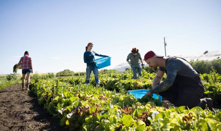Farmers harvesting lettuce in vegetable garden on sunny farm